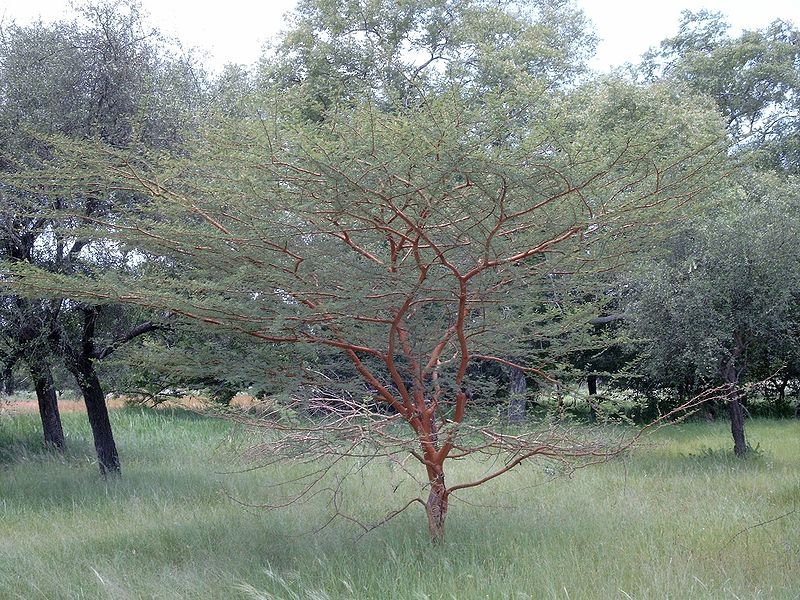 houppier de l'acacia visqueux