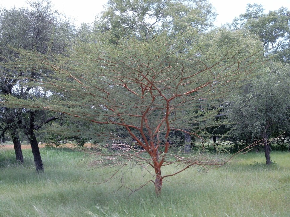 Acacia seyal Bild0830