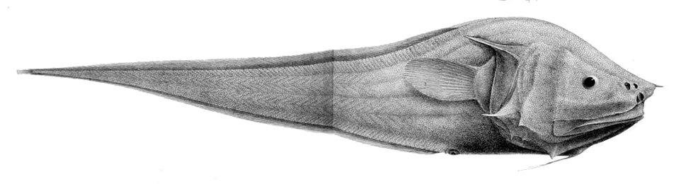 Acanthonus armatus