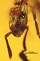Acanthostichus hispaniolicus SMNSDO5205-1 01.jpg