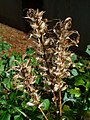 Acanthus balcanicus 04.jpg
