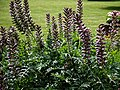 Acanthus spinosus at Easton Lodge Gardens, Little Easton, Essex, England.jpg