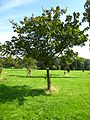 Acer ginnala tree.jpg