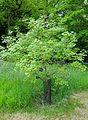 Acer hyrcanum subsp. keckianum - Hillier Gardens - Romsey, Hampshire, England - DSC04313.jpg