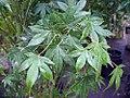 Acer japonicum Multistem 1zz.jpg