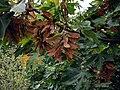 Acer macrophyllum 3158.jpg