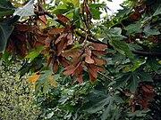 Acer macrophyllum 3158