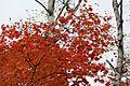 Acer palmatum - Flickr - odako1.jpg