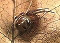 Achaearanea.japonica.female.-.tanikawa.jpg