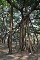 Acharya Jagadish Chandra Bose Indian Botanic Garden - Howrah 2011-01-08 9719.JPG