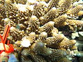 Acropora gemmifera, coralitos.jpg