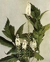 Actaea racemosa WFNY-064.jpg