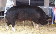 Champion Berkshire boar at the 2005 Royal Adelaide Show