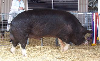 Berkshire pig - Champion Berkshire boar at the 2005 Royal Adelaide Show