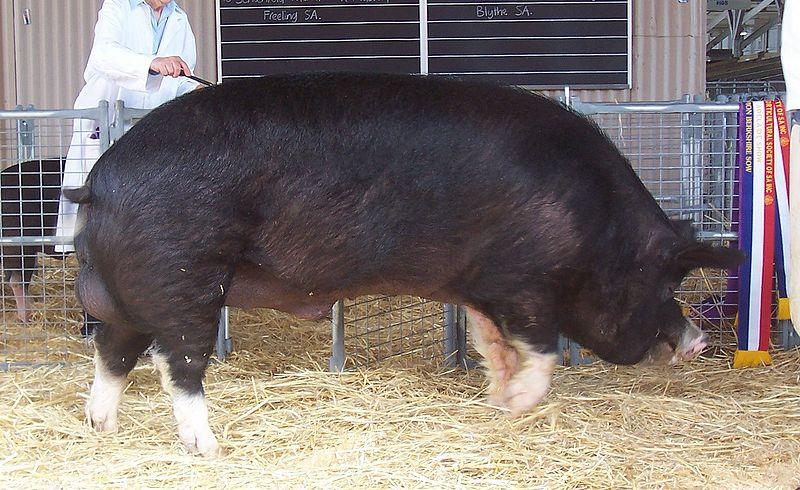 File:Adelaide champion Berkshire boar 2005.jpg