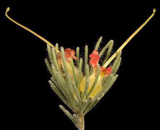 Adenanthos drummondii - Image: Adenanthos drummondii
