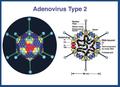 Adenovirus sito.png