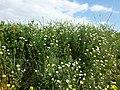 Adonis aestivalis + Anthemis austriaca + Fumaria officinalis sl1.jpg