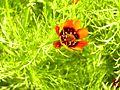 Adonis aestivalis DehesaBoyalPuerto Flor15 5 16.jpg