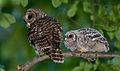 Adult-and-chick-2-BarredOwl.jpg