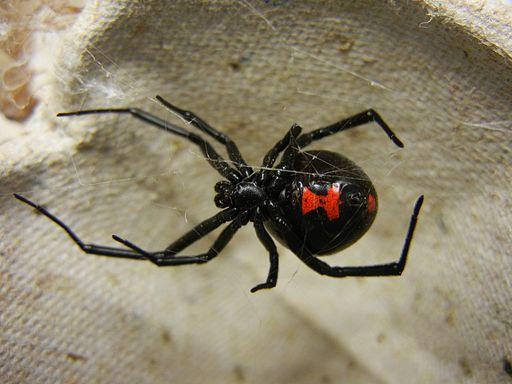 Adult Female Black Widow