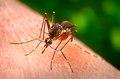 Aedes aegypti CDC9180.tif