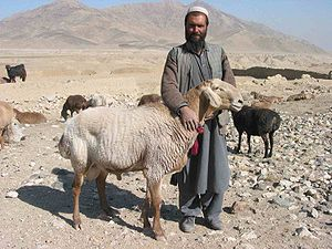 Fat-tailed sheep - A shepherd with fat-tailed sheep on a mountainside in Afghanistan