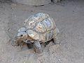 African Leopard Tortoise, America's Teaching Zoo.jpg