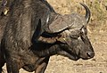 African buffalo or Cape buffalo, Syncerus caffer, with Red-billed Oxpecker, Buphagus erythrorhynchus, at Kruger National Park, South Africa (20952805755).jpg