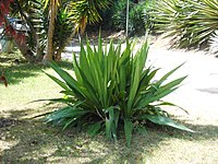 An agave located in the middle of a garden. The plant has long, straight leaves.
