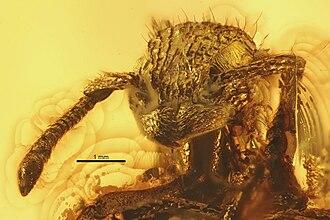 Agroecomyrmex - Close-up of the head of Agroecomyrmex duisburgi