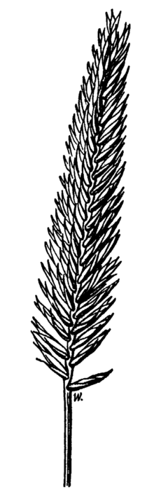 Agropyron desertorum drawing.png