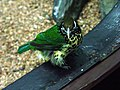 Ailuroedus buccoides -Denver Zoo-8a.jpg