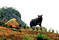 Akha bear med.jpg