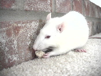An albino pet rat eating a piece of bread.