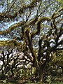 Albizia saman with epiphytes in Banyuwangi.jpg