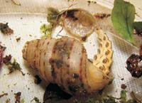 Alecton discoidalis and Chondropoma pictum.png