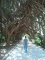 Allée des dracaena au jardin d'essai d'Alger.jpg