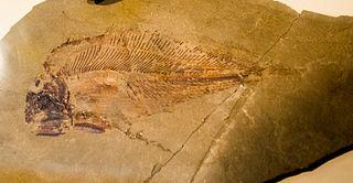 <i>Allenypterus</i> species of fish (fossil)
