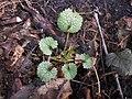 Alliaria petiolata 2018-02-01 7617.jpg