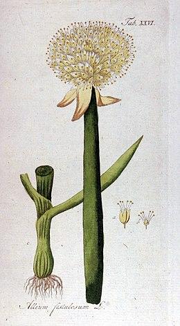 Allium fistulosum Ypey26