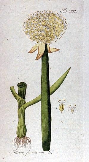 Allium fistulosum - Allium fistulosum