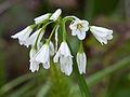 Allium triquetrum (4360181441).jpg
