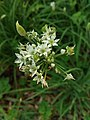 Allium tuberosum 09.jpg