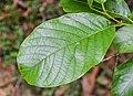 Alnus nepalensis in Hackfalls Arboretum (2).jpg