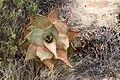 Aloe perfoliata subsp. mitriformis (Asphodelaceae-Xanthorrhoeaceae) (37103388290).jpg