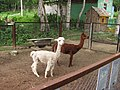 Alpaca in the Zoo of Yuzhno-Sakhalinsk 3.JPG