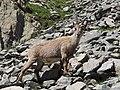 Alpine Ibex (Bouquetin) @ Path from L'Index to Col de la Gliere @ Hike to Lacs des Chéserys, Lac Blanc, Lac Cornu & Lacs Noirs @ Chamonix (15174923728).jpg