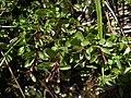 Alpine willowherb, Epilobium anagallidifolium (39299270700).jpg
