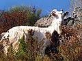 Altiani chèvre.jpg